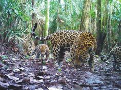 A Panthera picture of a jaguar mother and cubs in a Colombian oil palm plantation, shown here, won runner-up in the New Discoveries category of the 2012 BBC Wildlife Camera Trap Photos of the Year Awards! Nature Animals, Baby Animals, Cute Animals, Rainforest Animals, Animals Amazing, Amazon Rainforest, Animal Jaguar, Jaguar Tier, National Geographic