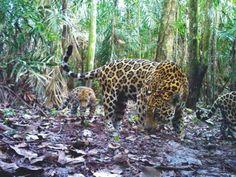 Las mejores fotos de animales salvajes tomadas por cámaras trampa: Jaguar