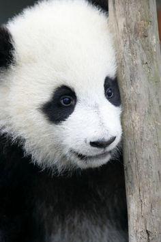 Sötis panda