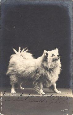 Vintage photo, spitz dog.
