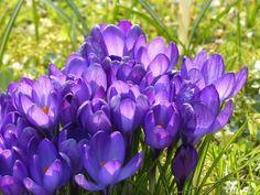 Fiori da piantare nel mese di ottobre - http://www.edendeifiori.it/2903/fiori-piantare-nel-mese-ottobre.php