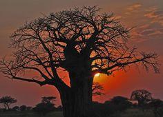 atardecer by juan vergara, via Le Baobab, Baobab Tree, Amazing Pics, Fantastic Art, West Africa, South Africa, Tree Tat, African Sunset, Amazon River