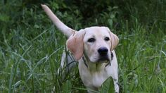 Собаки Лабрадор ретривер