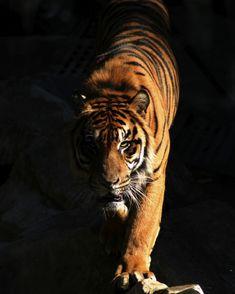 Tiger-820x1024.jpg (820×1024)