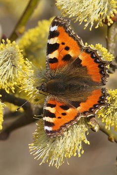 Aglais urticae Types Of Butterflies, Beautiful Butterflies, Small Insects, Butterfly Pictures, Little Critter, Save The Bees, Naturally Beautiful, Fruit Trees, Dragonflies