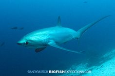 I'm pretty sure this is the cutest shark I've ever seen. Thresher shark on Monad Shoal, Philippines