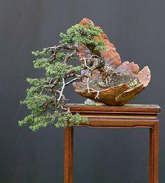 Walter Pall bonsai