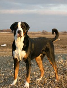 """Greater Swiss Mountain dog  Hope you're doing well.From your friends at phoenix dog in home dog training""""k9katelynn"""" see more about Scottsdale dog training at k9katelynn.com! Pinterest with over 20,800 followers! Google plus with over 180,000 views! You tube with over 500 videos and 60,000 views!! LinkedIn over 9,300 associates! Proudly Serving the valley for 11 plus years! Can now check us out on instantgram! K9katelynn"""