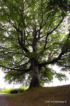 Sacred Trees in Early Ireland   Irish Archaeology