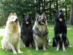 Met a shiloh dog for the first time today, these dogs are huge! ~not my photo Shiloh Dog, Shiloh Shepherd, Rare Dogs, Alaskan Malamute, Working Dogs, Animal Rescue Shelters, Dog Friends, Dog Owners, Animal Pictures