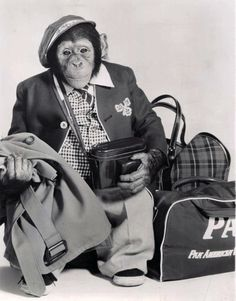 "Chimpanzee - J.Fred Muggs from ""The Today Show"" from Monkey See Monkey Do, Monkey Mind, Monkey Art, Funny Animal Videos, Funny Animals, Cute Animals, Chimpanzee, Orangutan, Monkey Pictures"