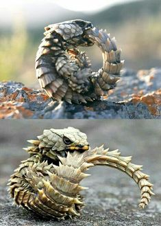 Looks like a dragon...Armadillo lizard is native to South Africa according to Wikipedia - only  to inches long.