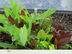 Growing Fresh Veggies in Fall and Winter Part 3