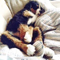 "Wafflenugget the Berner on Instagram: ""Snoozlebunny siesta. """