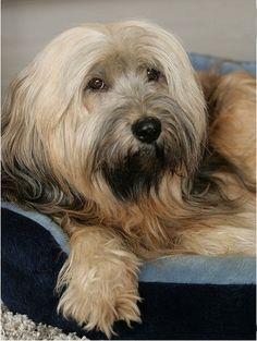 Ponyschneiden bei Langhaarhunden, Pony schneiden Tibet Terrier, Pflege Tibet Terrier, Pflege Langhaarhund, Gesicht frei schneiden, Augen frei schneiden, Hunde Blog, Chiru, Tibet Terrier