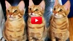 These Cats Are Totally Mesmerized By The Tennis Match On TV — And It's Totally Hilarious! Especially The Very End!