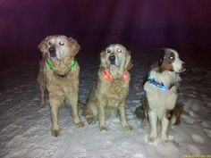 Light collar LEUCHTIE in the Standard version for dogs. Three dog with three colors out of eight possible colors.