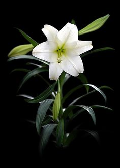 """Easter Lily"" by StoneHorse Studios on Flickr"