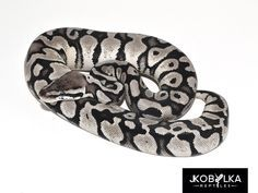 1000+ images about Snakes on Pinterest | Corn snake ...