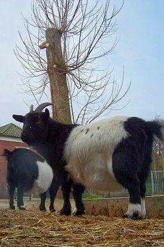 Lakenvelder geit op kinderboerderij winschoten