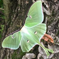 Voice of Nature - arctic-selkie: We met a beautiful luna moth in the... Pick Up Trash, Anne Of Green Gables, How To Get Warm, Arctic, Moth, Insects, Nature, Animals, Beautiful