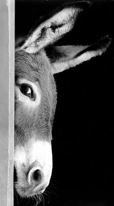 Sneaky Donkey or a Bashful Burro.he's cute : ) Farm Animals, Animals And Pets, Funny Animals, Cute Animals, Wild Animals, Smiling Animals, Beautiful Creatures, Animals Beautiful, Photo Animaliere