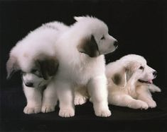 Baxter and Brittania Pyre puppies