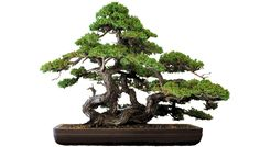 ienupar bonsai