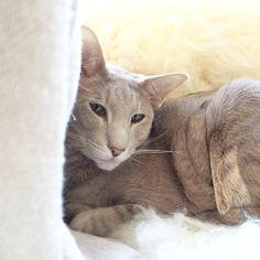 Esteri, oriental shorthair cat