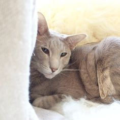 Esteri, oriental shorthair cat