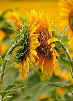 Sunflowers #Flower Arrangement| http://flowerarrangementideas.lemoncoin.org
