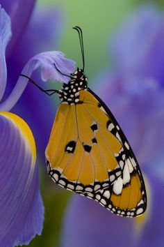 Tropical Butterfly, Danaus chrysippus, on Dutch Iris photography by:  Darrell Gulin