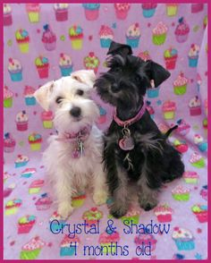 Crystal & Shadow :) :) Schnauzer puppies!!