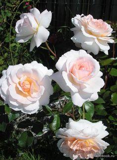 Shrub rose 'Schloss Eutin', Kordes 2005