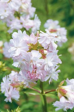 Saponaria officinalis  • (sap-uh-NAIR-ee-uh off-iss-ih-NAL-iss) • Family Caryophyllaceae • Hardy perennial