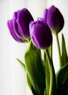 tulipan morado - Buscar con Google