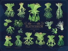 18原生種鹿角蕨插畫圖鑑-Platycerium-ビカクシダ - 青青小樹。多肉萌