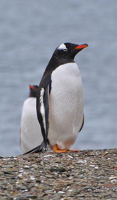 ♔ Penguins