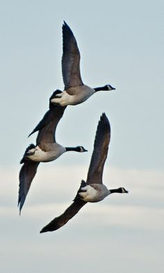 Canada Geese flying in formation...