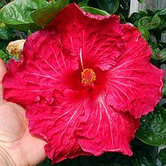 Exotic Hibiscus 'Lolly Pop'