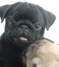 Cute Black Pug Puppy