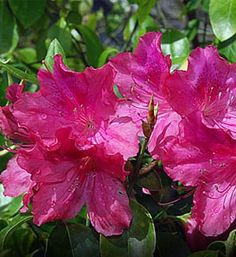 Formosa Azalea  south florida zoned