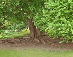 """One of my favorite places: """"Old Man Tree"""" Highland Park in Rochester, NY"""
