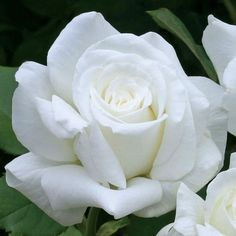 Pope John Paul II Hybrid Tea Rose Vigorous growth, superior disease resistance, and perfect bloom form! - See more at: http://www.jacksonandperkins.com
