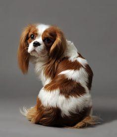 Cavalier-King-Charles-Spaniel - Personality Dog Photographer | The McCartneys…