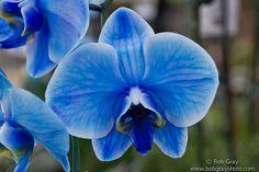 Blue Moth Orchid | Flickr - Photo Sharing!