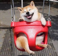 Happy Shiba Inu Swings Its Way Into a Fantastic Photoshop Battle - World's largest collection of cat memes and other animals Cute Little Animals, Cute Funny Animals, Funny Dogs, Cute Puppies, Cute Dogs, Dogs And Puppies, Corgi Puppies, Funny Animal Pictures, Happy Dogs