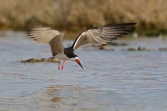 mis fotos de aves: Rynchops niger Rayador Black skimmer