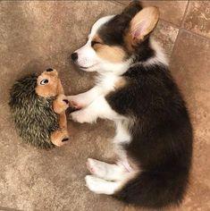 Find Out More On Cute Pembroke Welsh Corgi Dgas Grooming corgi Baby Corgi, Cute Corgi Puppy, Corgi Dog, Pomeranian Puppy, Husky Puppy, Dachshund, Cute Baby Dogs, Cute Dogs And Puppies, Baby Puppies