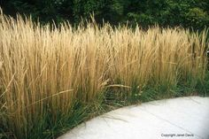 Feather Reed Grass: Tall grass (over 6 feet) can be used to create living fences or outdoor rooms.